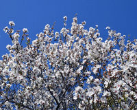Blooming almond tree against blue sky. Royalty Free Stock Image