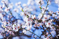 Blooming almond tree  branch Stock Images