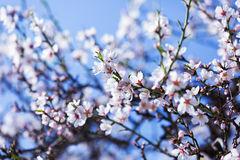 Blooming almond tree  branch Royalty Free Stock Photos