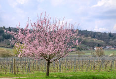 Blooming almond tree on the German Wine Road Stock Photos