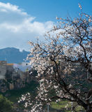 A blooming almond tree and on the hill and mountains on the background. On spring day at the surroundings of Jaen, Andalusia, Spain Royalty Free Stock Photos
