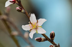 Blooming almond tree. On the island of Tenerife Stock Photo