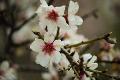 Blooming almond tree. On the island of Tenerife Royalty Free Stock Photo