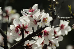 Blooming almond tree. On the island of Tenerife Royalty Free Stock Photography