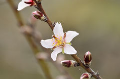 Blooming almond tree. On the island of Tenerife Royalty Free Stock Photos