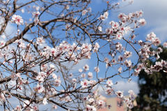 Blooming almond tree Stock Photos