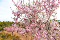 Blooming almond trees Stock Photo