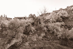 Blooming almond trees in Fikardou village- sepia toned Royalty Free Stock Photo