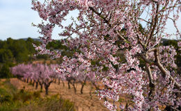 Blooming almond trees. Spain Royalty Free Stock Image