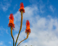 Blooming Aloe Vera Royalty Free Stock Photos