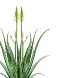 Blooming Aloe Vera Mirroring Stock Images