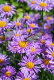 Blooming Alpine Aster Aster alpinus Stock Images