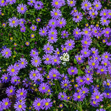 Blooming Alpine asters - Aster Alpinus Royalty Free Stock Photos