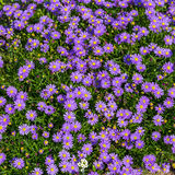 Blooming Alpine asters - Aster Alpinus Royalty Free Stock Images