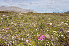Blooming alpine tundra meadow wildflowers Royalty Free Stock Images