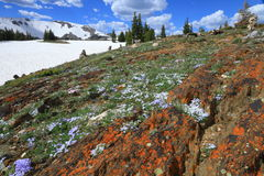 Blooming alpine wildflowers Stock Photography