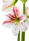 Blooming amarillis Royalty Free Stock Image