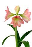 Blooming amaryllis Stock Images