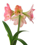 Blooming amaryllis Royalty Free Stock Images