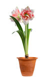 Blooming amaryllis. In ceramic pot isolated on white background royalty free stock photography