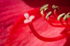Blooming Amaryllis Flower Royalty Free Stock Photo