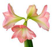 Blooming amaryllis Royalty Free Stock Photos