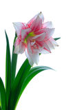 Blooming amaryllis Stock Photos