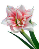 Blooming amaryllis Stock Photo
