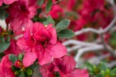 Blooming amazing azalea bush royalty free stock photography