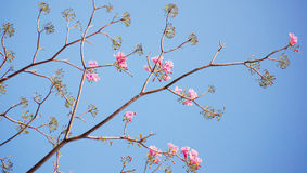 Blooming And Buds Of Tabebuia Royalty Free Stock Photo