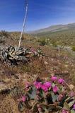 Blooming in anza Borrego desert Royalty Free Stock Photos