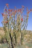 Blooming in anza Borrego desert Stock Photos