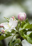 Blooming apple blossomed white flowers. Blooming apple branch blossomed white flowers Stock Images