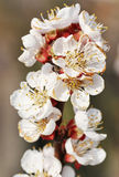 Blooming apple blossoms. On a single branch Stock Photo