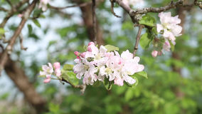 blooming apple branch, close-up stock video footage