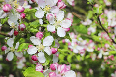Blooming apple branch in spring orchard Stock Photography