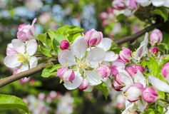 Blooming apple branch in spring orchard Stock Image