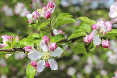 Blooming apple branch in spring orchard Royalty Free Stock Photo