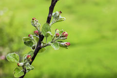 Blooming apple branch in spring orchard Royalty Free Stock Photography