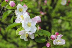 Blooming apple branch in spring orchard Royalty Free Stock Images