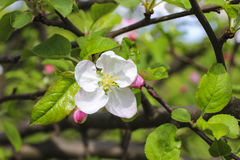 Blooming apple branch in spring orchard Stock Photos