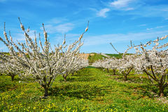 Blooming apple or cherry trees in Burgundy, France Stock Photo