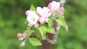 Blooming apple closeup stock video footage