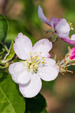 Blooming apple flowers  in orchard Stock Photos
