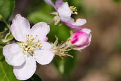 Blooming apple flowers  in orchard Royalty Free Stock Photos
