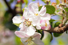 Blooming apple flowers  in orchard Stock Photo