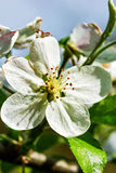 Blooming apple flowers in orchard. Stock Photography