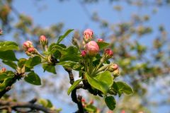 Blooming apple flowers on the trees on a garden stock photos