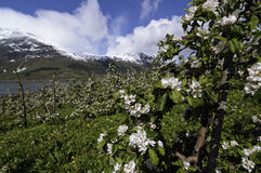 Blooming apple gardens in Hardanger. The horizontal picture of the blooming apple gardens in Hardanger, Norway stock photo