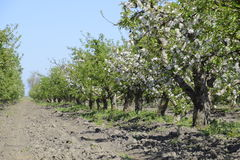 Blooming apple orchard. Adult trees bloom in the apple orchard. Fruit garden Stock Photo